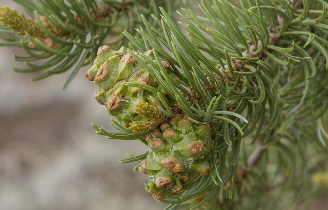 Pinyon Tree 6_7d1__240616