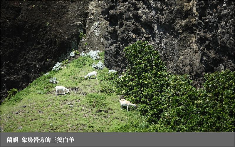 蘭嶼_象鼻岩旁的三隻白羊