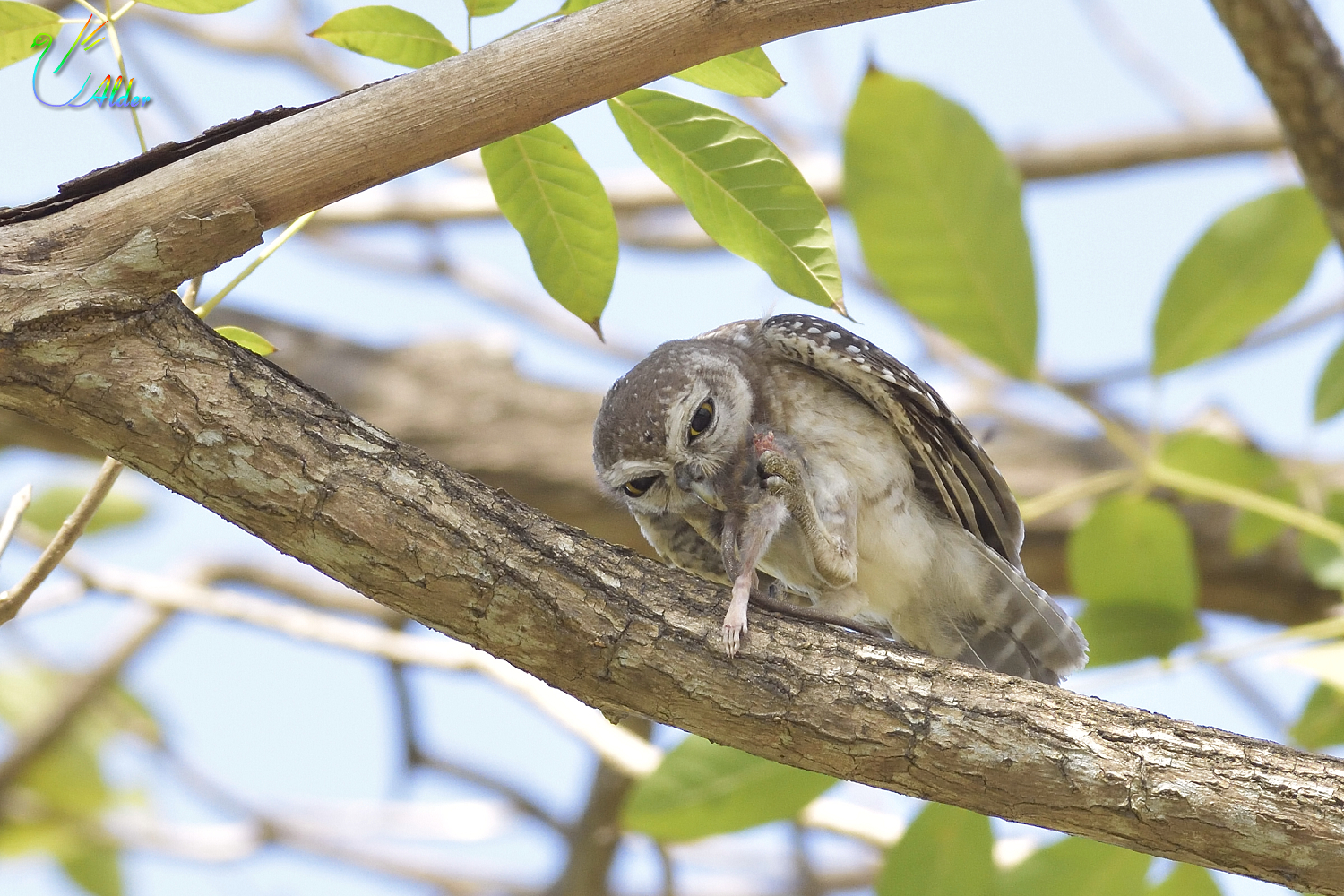 Spotted_Owlet_4640
