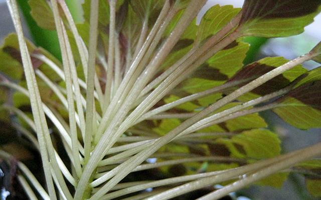 ウォーターダイヤ コビトヒメビシ 小人姫菱 モザイクプラント ルドウィジア・セドイデス 水生植物 Ludwigia sedoides