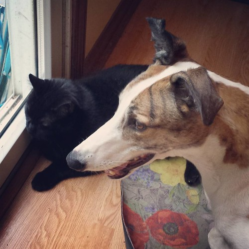 Cane and Julio are unhappy that Lester is outside. #Julio #catsofinstagram #Cane #DogsOfInstagram #greyhound