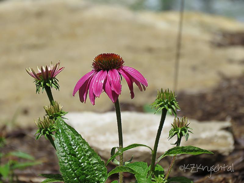 IMG_2564PowWowWildberryConeflower