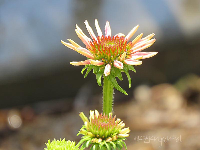 IMG_2583Coneflower
