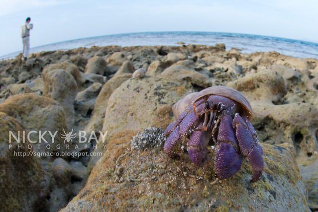 Land Hermit Crab (Coenobita sp.) - DSC_6943