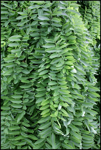 Sophora japonica 'Pendula' (1)