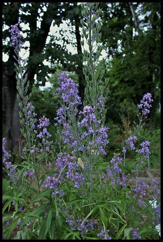 Delphinium requienii (3)