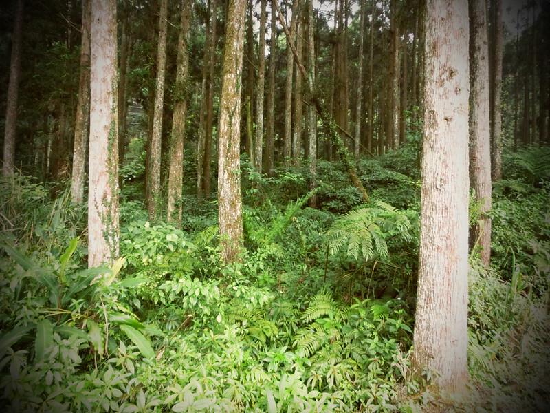 Taiwan Island trips。Couchsurfing。環島景點。南投秘境。忘憂森林。17度C隨拍。  (7)