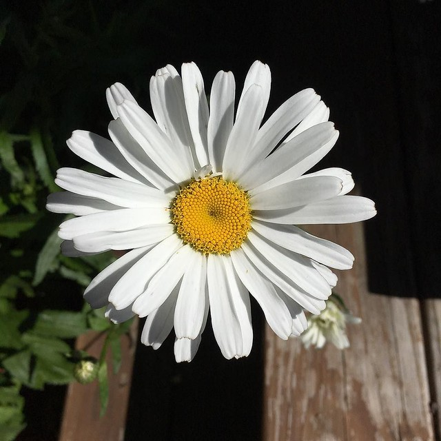 Shasta daisies starting to bloom.