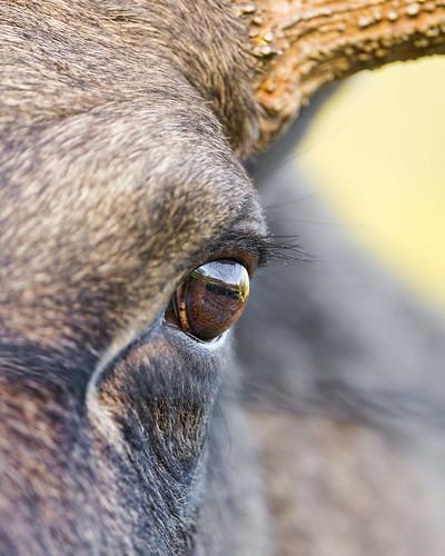 Close Up Of A Moose