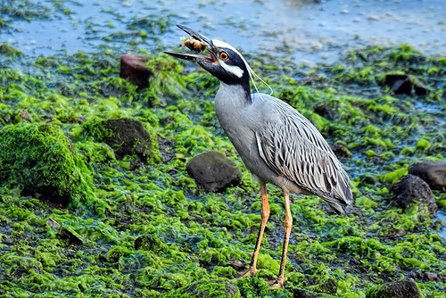 Brooklyn: Yellow-crowned Night-Heron Getting His Full