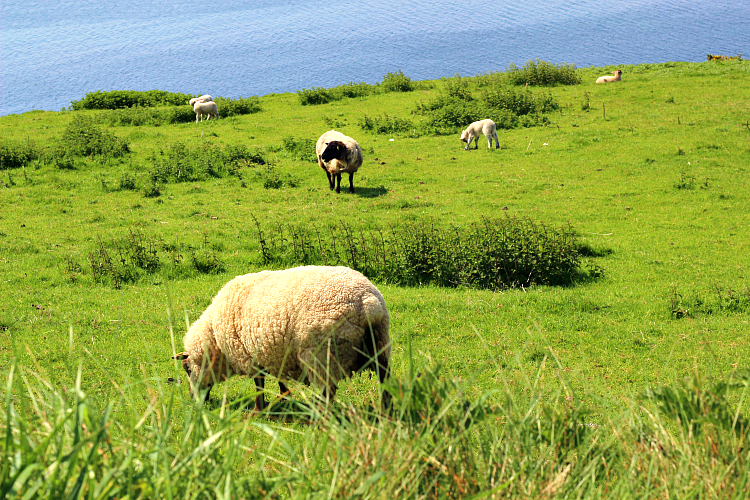sheep_ireland
