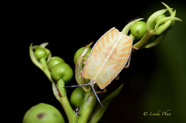 lindaphua_shieldbug