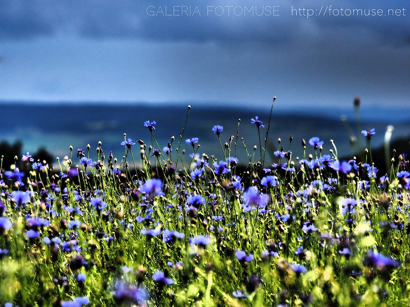 Cornflowers and cloudy sky