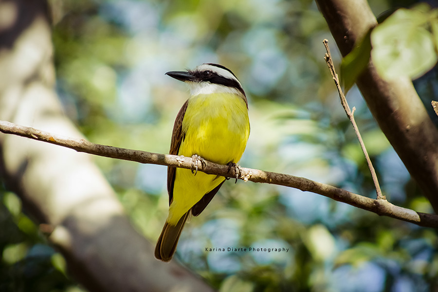 Pitogue - Great Kiskadee
