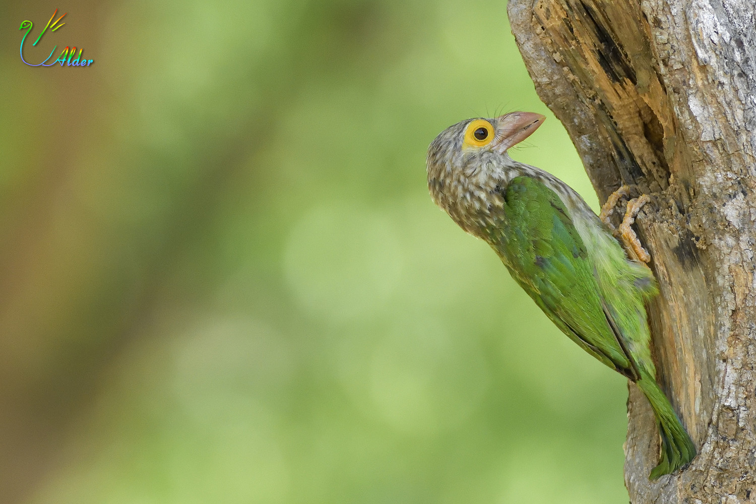 Lineated_Barbet_7142