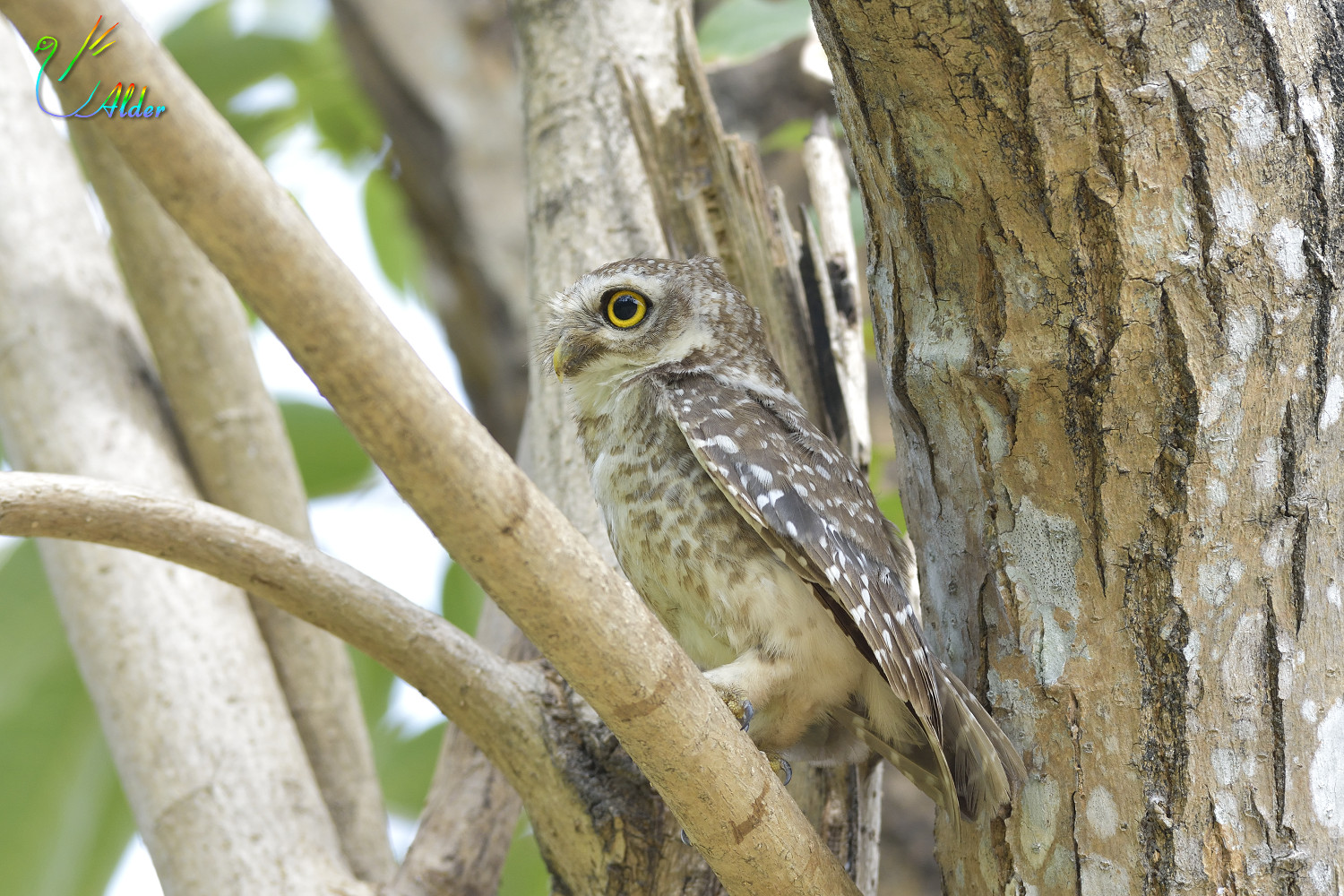 Spotted_Owlet_7023