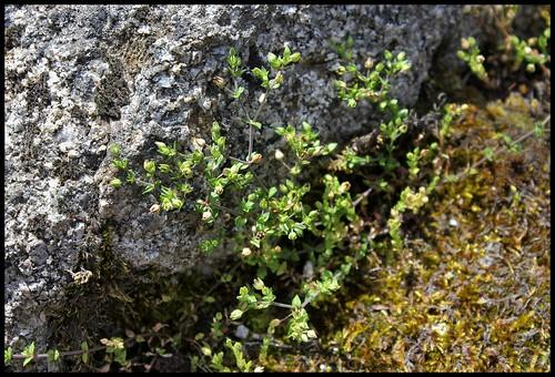 Arenaria serpillyfolia (1)