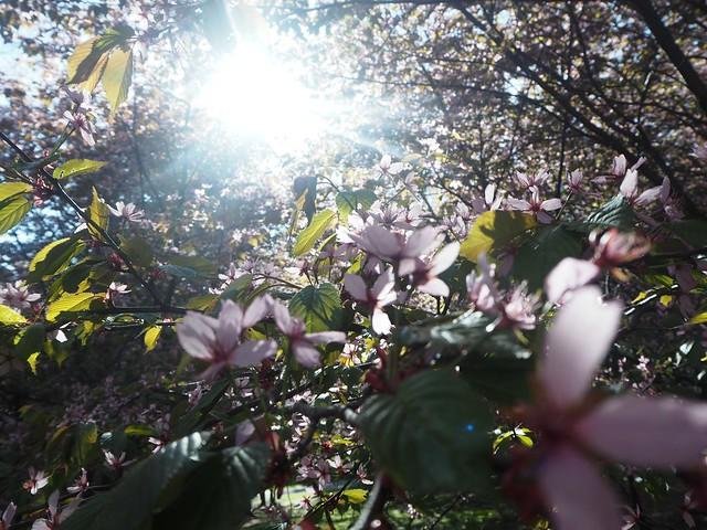 cherryblossomP5124989,japanesestylegardenP5124841,cherryblossomP5124847, cherry blossom, kirsikkapuu, kirsikan kukka, helsinki, roihuvuori, finland, suomi, hanami, helsinki tips, cherry park, japanese style garden, cherry tree park, cherry park, cherry trees, kirsikankukka puu, blooming, kukkia, vaaleanpunainen, pinkki, kukka, flower, cherry blossom helsinki, blue sky, sininen taivas, may, toukokuu, kesä, summer, kevät, spring, suomi, cherry woods, kirisikkapuisto, roihuvuori, japanilaistyylinen puutarha,