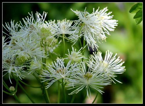 Thalictrum aquilegifolium 'Alba' (2)