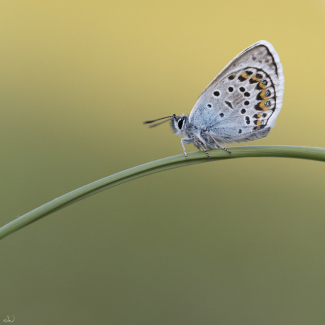 Silver-studded Blue (male)