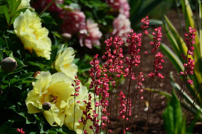 adelman-peony-garden-2