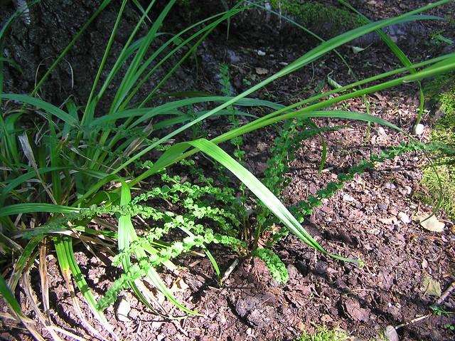 Athyrium filix-femina 'Frizelliae' & Carex sylvatica