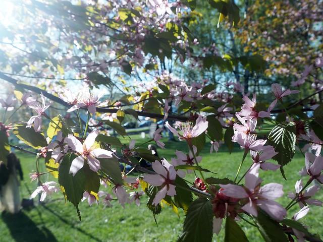cherryblossomP5125071,japanesestylegardenP5124841,cherryblossomP5124847, cherry blossom, kirsikkapuu, kirsikan kukka, helsinki, roihuvuori, finland, suomi, hanami, helsinki tips, cherry park, japanese style garden, cherry tree park, cherry park, cherry trees, kirsikankukka puu, blooming, kukkia, vaaleanpunainen, pinkki, kukka, flower, cherry blossom helsinki, blue sky, sininen taivas, may, toukokuu, kesä, summer, kevät, spring, suomi, cherry woods, kirisikkapuisto, roihuvuori, japanilaistyylinen puutarha,