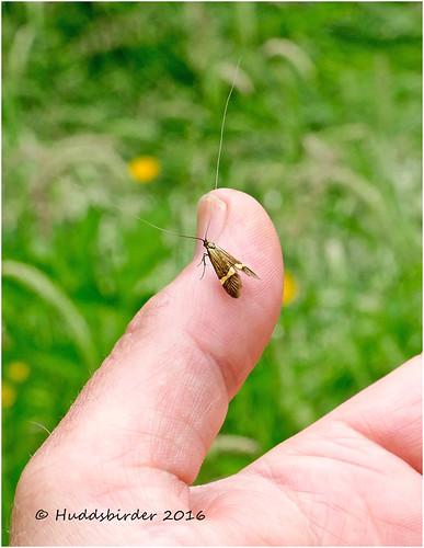 Yellow-barred Longhorn Moth