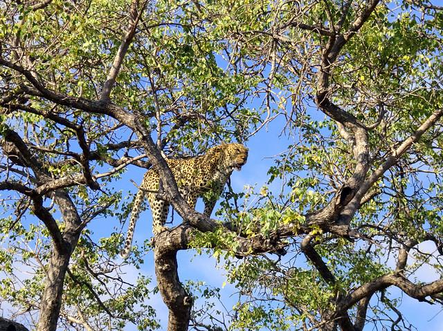 Lion Sands Safari Day 3- Leopard