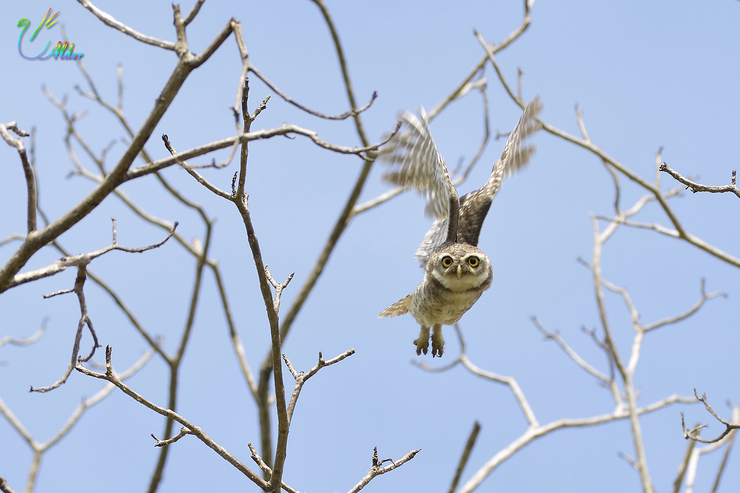 Spotted_Owlet_5999