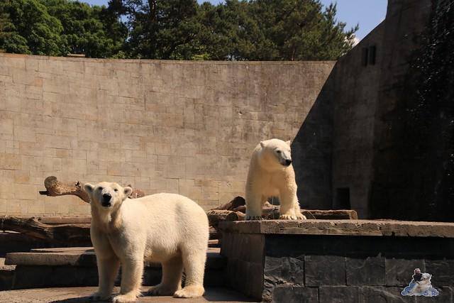 Eisbär Fiete im Zoo Rostock 04.06.2016   0143
