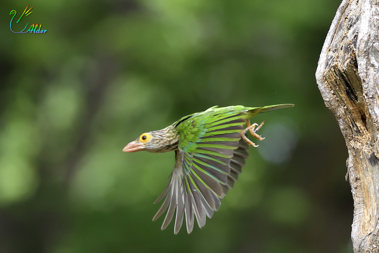 Lineated_Barbet_6447