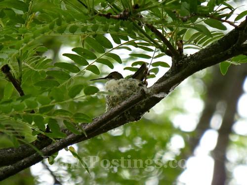 hummer nest 1