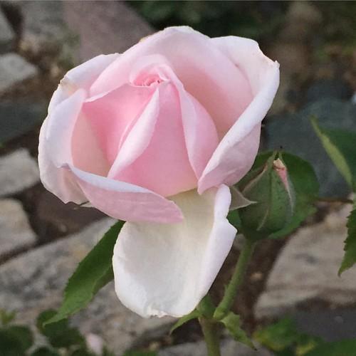 #davidaustinrose #rose #roses🌹