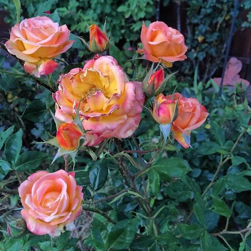 #judygarlandrose a little sunburned