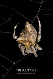 Common Garden Spider (Parawixia dehaani) - DSC_4278