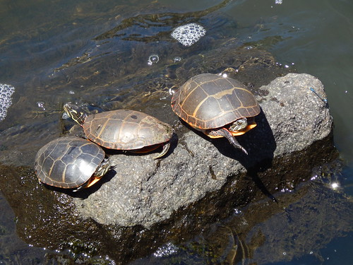 three turtles and a damselfly