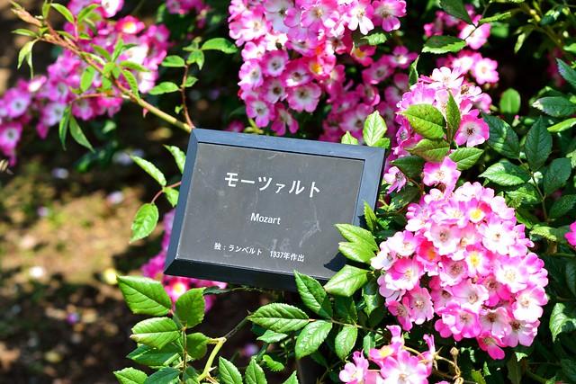 新宿御苑_バラ