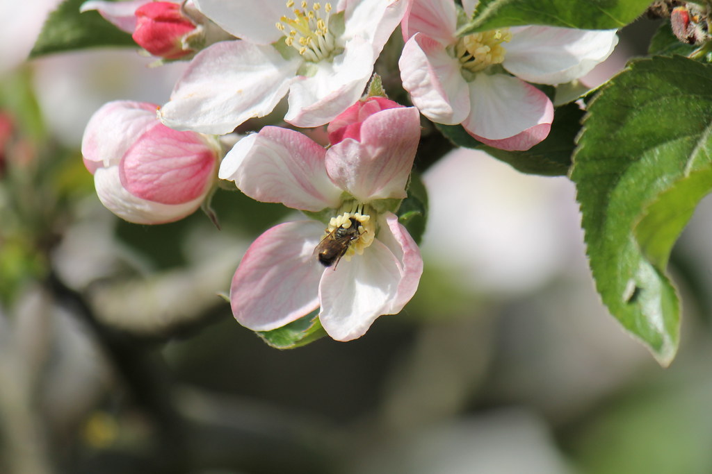 worker bee in the apple tree