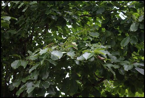 Ehretia macrophylla -Cabrillet à grandes feuilles (2)