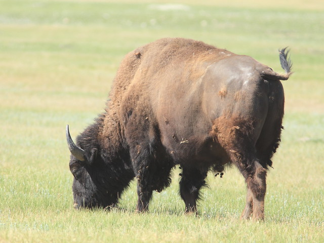 American Bison 20160618