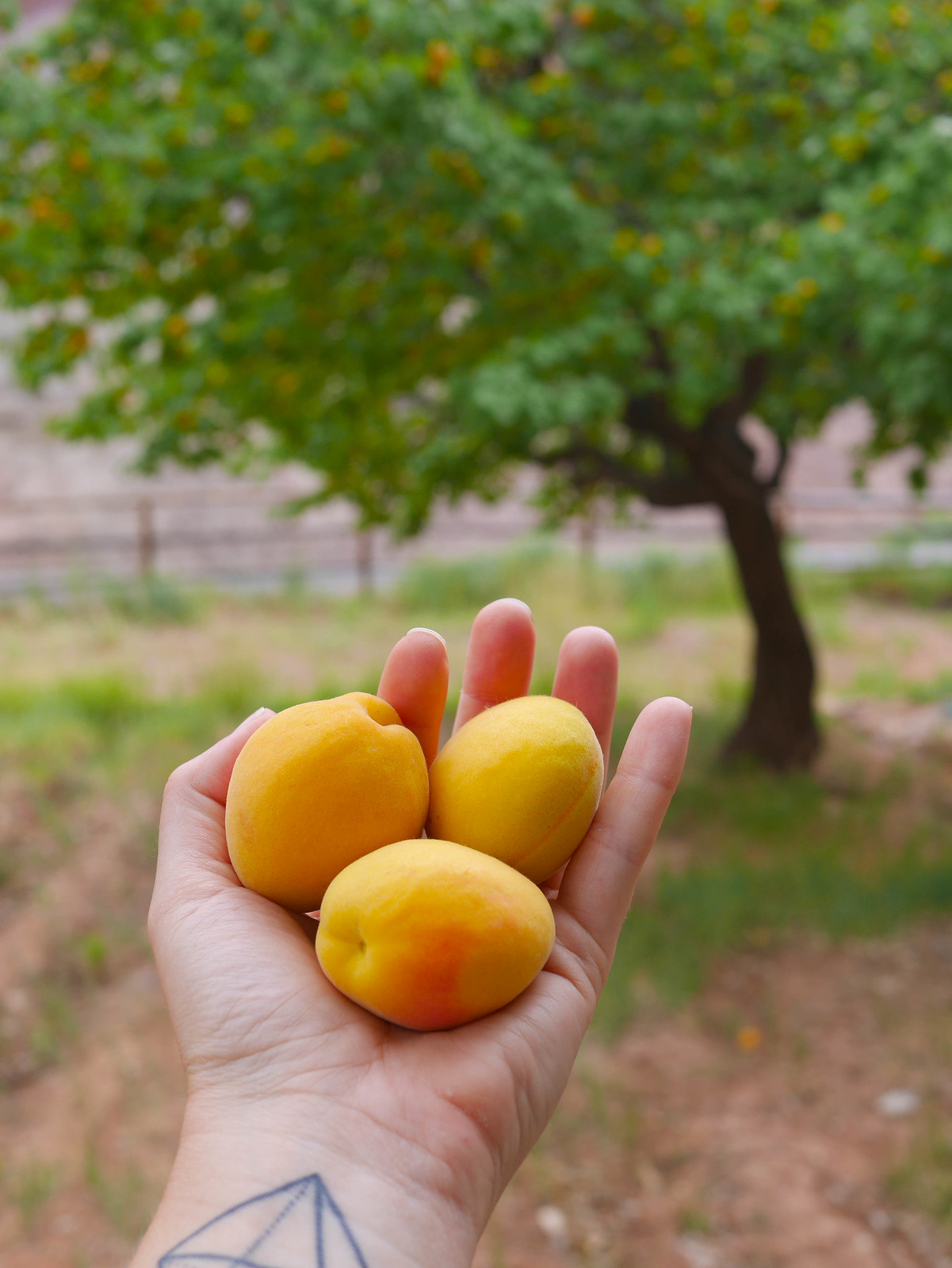 Picked some apricots in Fruita! Thanks Joe Smith