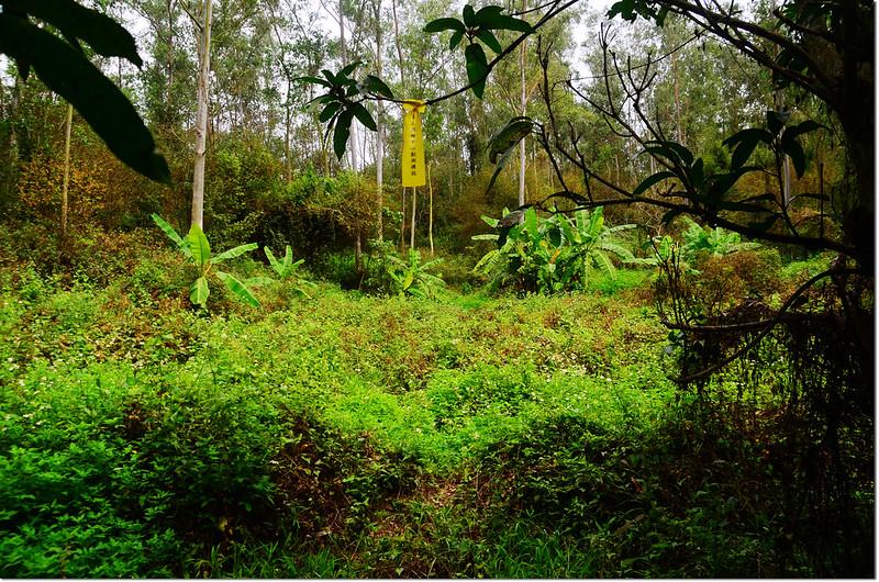 埔姜林尤加利樹林