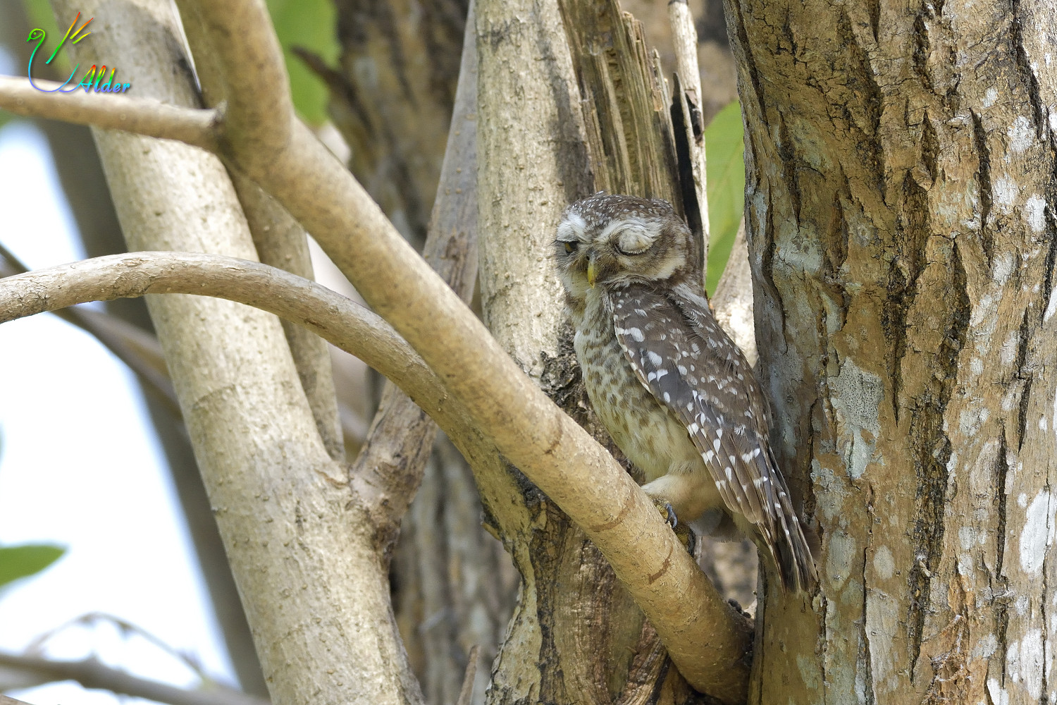 Spotted_Owlet_6935