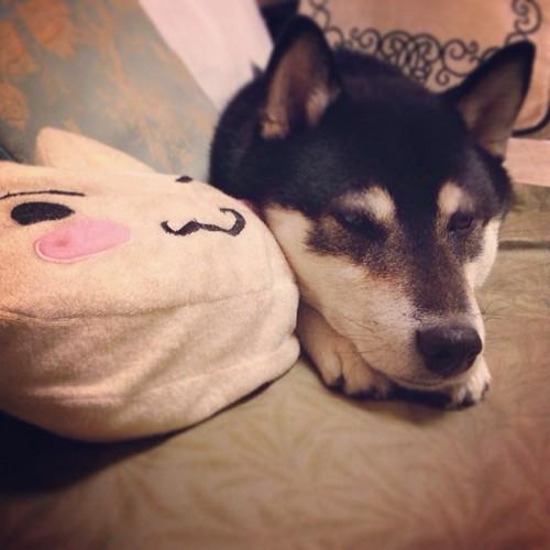 2014-02-12 #柴犬 #shiba