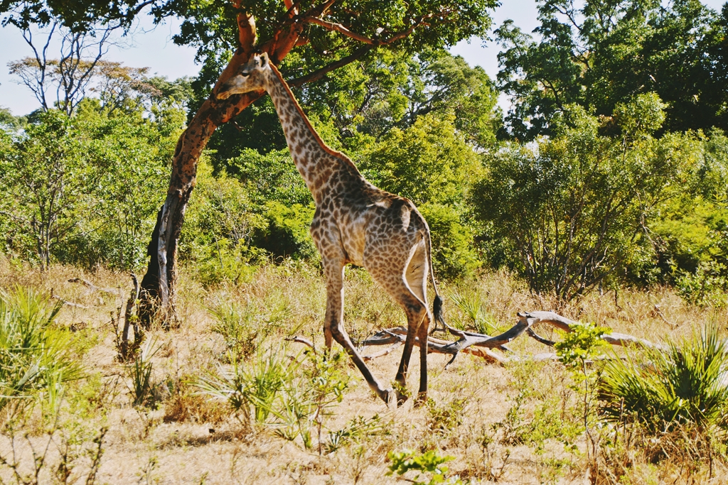 safari64