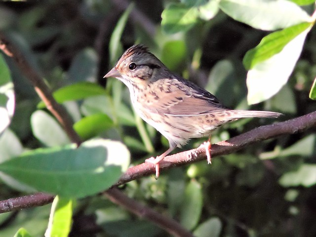 Lincoln's Sparrow 20131016