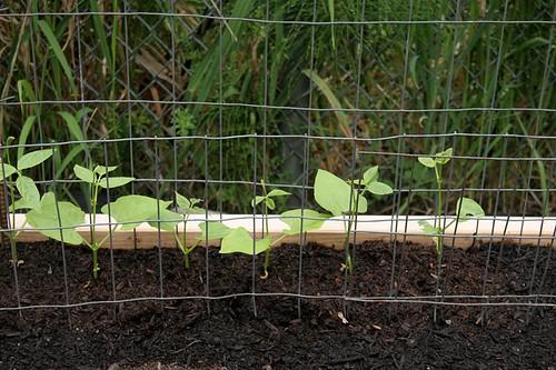 Vegetable Garden 2016 Monte Cristo Beans