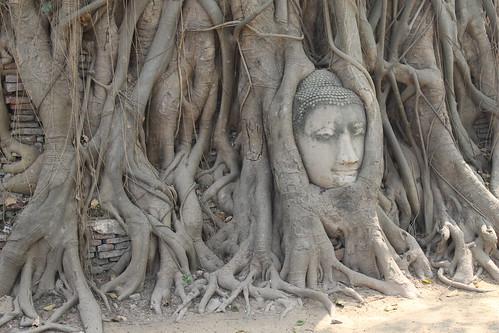 Buddha head.  We take a day trip to Ayutthaya, the ...
