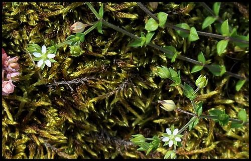 Arenaria serpillyfolia (4)